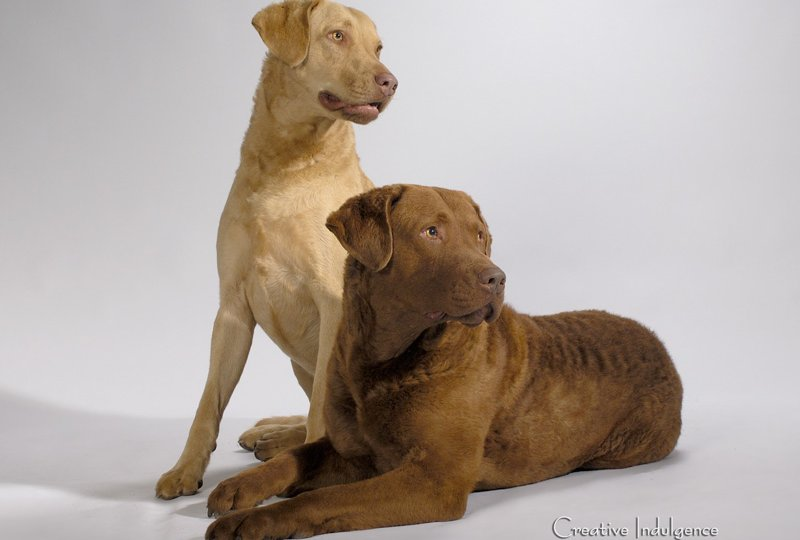 Chesapeake-Bay-Retrievers